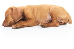 Side view of a sleeping viszla puppy dog. On white background Stock Photography
