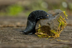 Side view of slug, nature Royalty Free Stock Photography