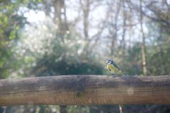 Blue tit on fence, profile royalty free stock photo