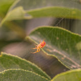 Side View of a Spider in Web Royalty Free Stock Photo
