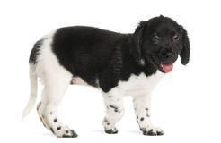 Side view of a Stabyhoun puppy walking, panting Royalty Free Stock Image