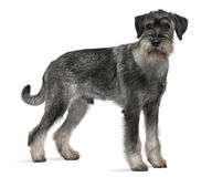 Side view of Standard Schnauzer, standing Stock Photos