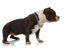 Side view of standing american bully wearing collar. On white background royalty free stock photography