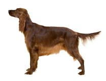 Side view of Standing female red irish Setter royalty free stock photography