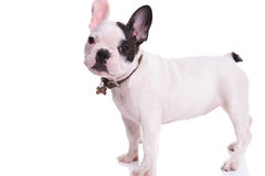 Side view of a standing french bulldog puppy dog royalty free stock photos