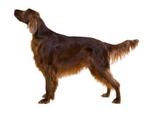 Side view of standing male red irish Setter Stock Photos