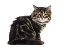 Side view of a Stripped kitten mixed-breed cat sitting and looki. Ng at the camera, isolated on white Stock Photography
