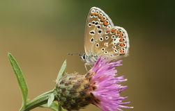 The side view of a stunning Common Blue Butterfly, Polyommatus icarus, perched on a flower. Stock Photography