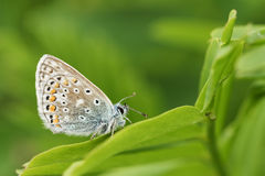 The side view of a stunning Common Blue Butterfly, Polyommatus icarus , perched on a leaf. Royalty Free Stock Images