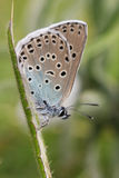 The side view of a stunning rare Large Blue Butterfly,Maculinea arion, perched on a plant stem. Royalty Free Stock Photos