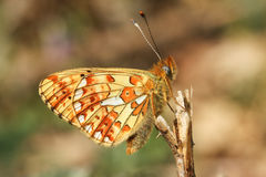 The side view of a stunning rare Pearl-bordered Fritillary Butterfly, Boloria euphrosyne , perched on a plant stem. Stock Image