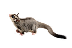 Side view of sugarglider. Royalty Free Stock Image