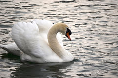 Side view of a swan Royalty Free Stock Photo