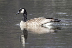 Side view of swimming goose. Stock Images