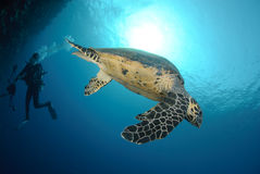 Side view of a swimming hawksbill turtle Royalty Free Stock Images