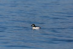 Side view swimming male goldeneye duck bucephala clangula stock photography