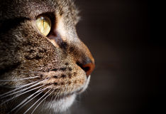 Side View of Tabby Cat's Face Royalty Free Stock Image