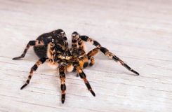 Side view of  tarantula spider Stock Images
