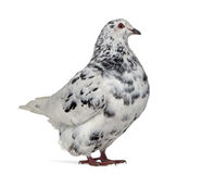 Side view of a Texan pigeon. Isolated on white Royalty Free Stock Photos