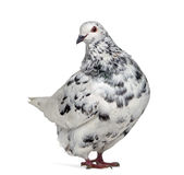 Side view of a Texan pigeon questioning Royalty Free Stock Images