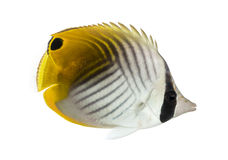 Side view of a Threadfin Butterflyfish, Chaetodon auriga Stock Images