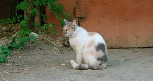 Side view of three color feral cat sitting alone stock video
