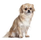 Side view of Tibet Spaniel, sitting Royalty Free Stock Photography