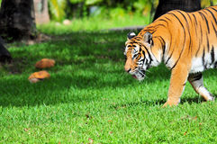 Side View of a Tiger Royalty Free Stock Photos