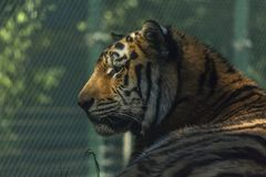 Side view of tiger`s head. Shadows and natural light royalty free stock photos