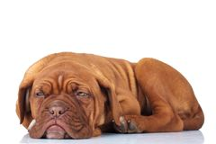 Side view of a tired french mastiff puppy. Getting ready to sleep on white background Royalty Free Stock Photos