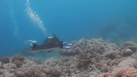 Side view of Reef manta ray swim on coral reef. Side View,Tracking shots of Reef manta ray Manta alfredi hover/swim on the coral reefs and diver close to the stock video footage