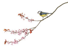 Side view of a tweeting Blue Tit perching on a blossoming branch Royalty Free Stock Image