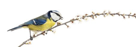 Side view of tweeting Blue Tit perching on a blossoming branch. Cyanistes caeruleus stock photography