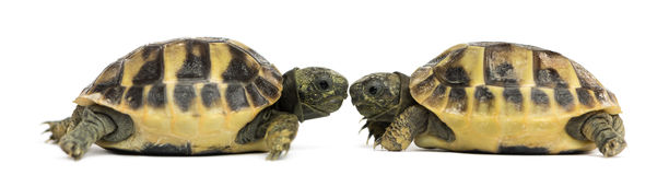 Side view of two baby Hermann's tortoise facing each other. Testudo hermanni, isolated on white stock image