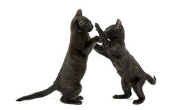 Side view of two Black kittens playing, 2 months old, isolated Stock Photography
