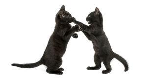 Side view of two Black kittens playing, 2 months old, isolated. On white Stock Photos