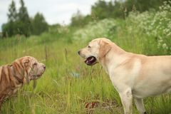Two cute dogs, golden golden labrador and Shar pei , getting to know and greeting each other by sniffing. Side view at Two cute dogs, golden labrador and Shar royalty free stock photography