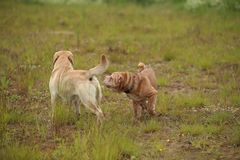 Two cute dogs, golden golden labrador and Shar pei , getting to know and greeting each other by sniffing. Side view at Two cute dogs, golden labrador and Shar royalty free stock photo