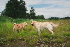 Two cute dogs, golden golden labrador and Shar pei , getting to know and greeting each other by sniffing. Side view at Two cute dogs, golden labrador and Shar stock images