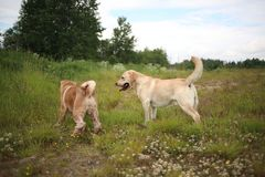 Two cute dogs, golden golden labrador and Shar pei , getting to know and greeting each other by sniffing. Side view at Two cute dogs, golden labrador and Shar royalty free stock photos