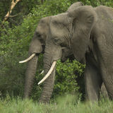 Side view on two elephant's head Royalty Free Stock Photo