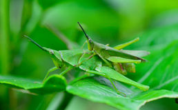 Side view  of two grasshopper are breeding  on  lea Royalty Free Stock Photo