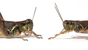 Side view of two grasshoppers. Face to face stock footage