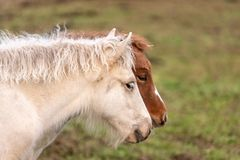 Two Icelandic horse foals standing next to each other stock photo