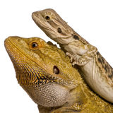 Side view of two Lawson's dragons. Pogona henrylawsoni, against white background Royalty Free Stock Photos