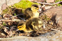 Side view of two Mallard ducklings among rocks.  Stock Photos