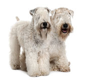 Side view of Two Soft-coated Wheaten Terriers. Two Soft-coated Wheaten Terriers, 1 year old, sitting in front of white background Royalty Free Stock Image