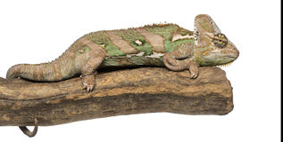 Side view of a Veiled chameleon lying on a branch Royalty Free Stock Photos