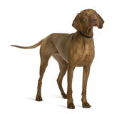Side view of Viszla dog, standing. Viszla dog, 2 years old, standing in front of white background Stock Photography
