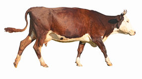 Side view of a walking brown cow Stock Photos